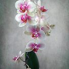 Fancy Orchids by LouiseK