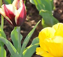 Tulip Red by ellokingdom