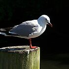 Red Billed Seagull..........! by Roy  Massicks