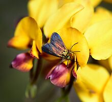 Insect on pea flower by nadine henley