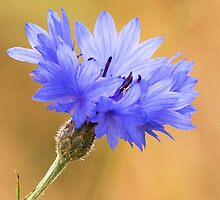 Cornflower by Neil Bygrave (NATURELENS)