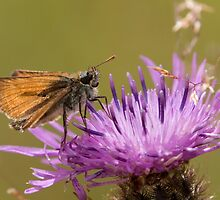 Small Skipper by Neil Bygrave (NATURELENS)