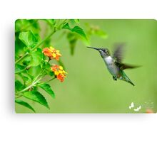 Hummingbird Approaching the Flower Canvas Print