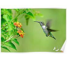 Hummingbird Approaching the Flower Poster