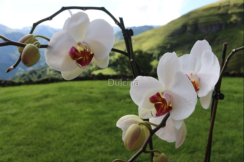 Orchids in the open air by Dulcina