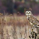 Short-eared Owl on a Stump by Tom Talbott