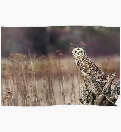 Short-eared Owl on a Stump Poster