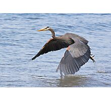Great Blue Heron Launch Photographic Print