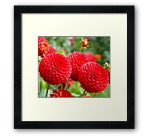 Red Dahlias in the Summer Framed Print