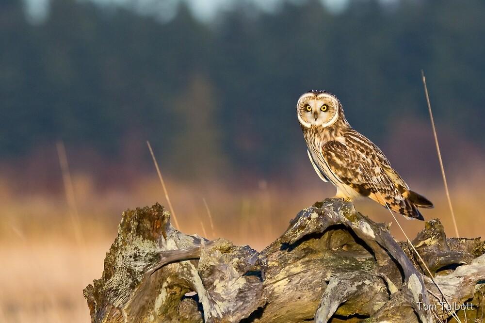 Short-eared Owl in Evening Light by Tom Talbott