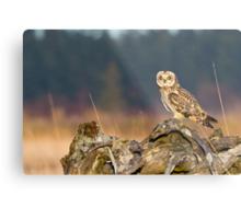 Short-eared Owl in Evening Light Metal Print