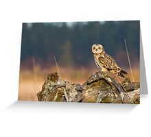 Short-eared Owl in Evening Light Greeting Card