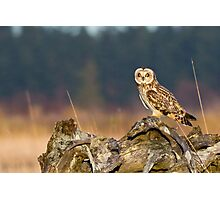 Short-eared Owl in Evening Light Photographic Print