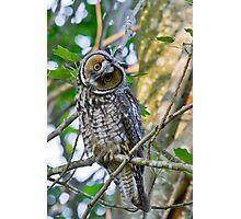 Curious Juvenile Long-eared Owl Photographic Print