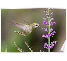 Juvenile Anna's Hummingbird Poster