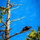 Crow in an Old Tree by kenmo