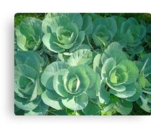 Cabages in early summer Canvas Print