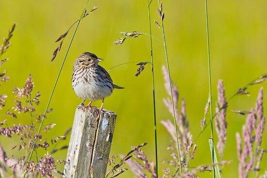 Savannah Sparrow on a Post by Tom Talbott