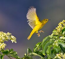 Yellow Warbler Leap by Tom Talbott