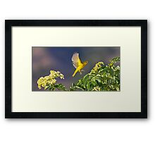Yellow Warbler Leap Framed Print