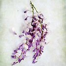 Wisteria  Still Life by LouiseK