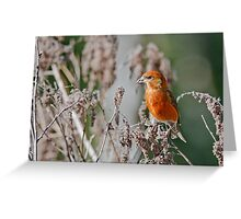 Red Crossbill in Seed Heads Greeting Card