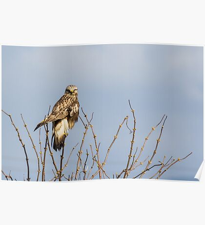 Ever Vigilant -- Rough-legged Hawk Poster