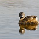 """Concentration"" -- Pied-billed Grebe by Tom Talbott"