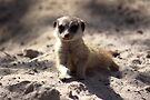 Meerkat Pup by Jo Nijenhuis