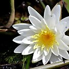 Fragrant Water Lily V by Kathleen Daley