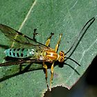 Ichneumon Wasp(Theronia maculosa) by Andrew Bonnitcha