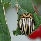 Striped Beetle by clizzio