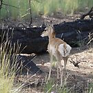 Baby Pronghorn Antelope  by clizzio