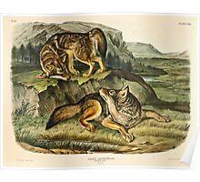 John James Audubon - Canis latrans, Say  Prairie Wolf  Males  1 3 Natural Size1845  Poster