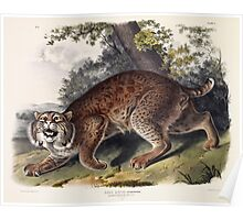John James Audubon - Lynx rufus  Guldenstaed  Common American Wild Cat  3 4 Natural Size  Male 1842  Poster