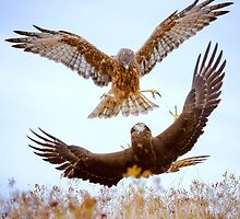 Hawk Fight by focuscreative
