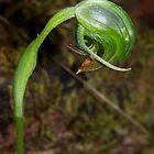 Pterostylis nutans (Nodding Greenhood) by Russell Mawson