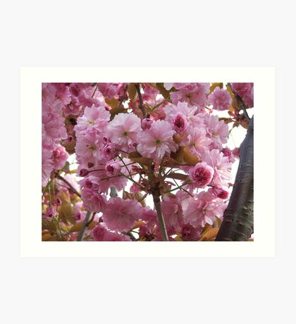 Pink profusion .. cherry tree blossoms Art Print