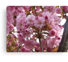 Pink profusion .. cherry tree blossoms Canvas Print