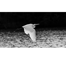 Great Egreat black and white Photographic Print