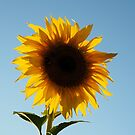 Sunny Sunflower by kostolany244