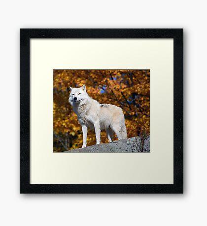 Loup Arctique Framed Print