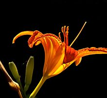 Daylily - June 2013 by cclaude