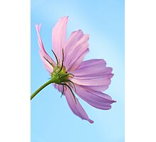 Morning Cosmos Photographic Print