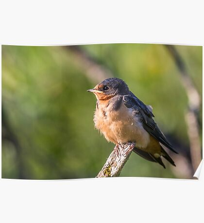 Juvenile Barn Swallow  Poster