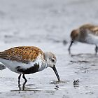 Dunlin Catch by Tom Talbott