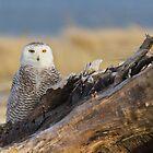 Snowy Owl in Evening Light by Tom Talbott