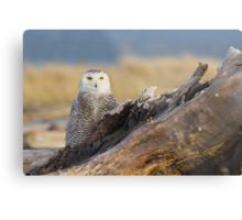 Snowy Owl in Evening Light Metal Print