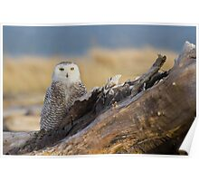 Snowy Owl in Evening Light Poster