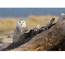 Snowy Owl in Evening Light Photographic Print